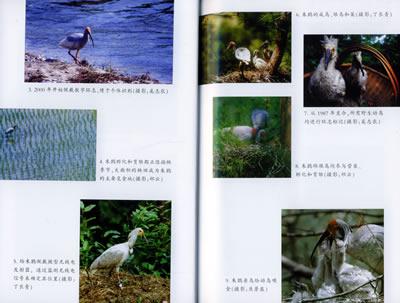 《朱鹮研究/中国重点保护野生动物研究丛书》