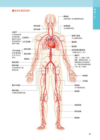 正常动脉壁结构